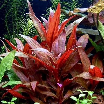 Aquarium Fan 50 Plantas de Acuario en vivo/17 Tipos Diferentes - Amazon Espadas, Anubias, Java Fern, Java Moss, Ludwigia y Mucho más.