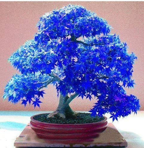 Maple Japanese Bonsai Tree - 100% Real Japanese Ghost Blue Maple Tree Bonsai Seeds, 10 Seeds/Pack, Acer palmatum atropurpureum, Bonsai SOW ALL YEAR