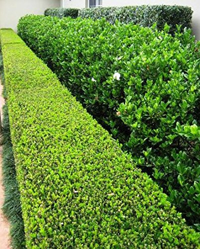Winter Gem Korean Boxwood Qty 12 Live Plants 4'' Container Fast Growing Cold Hardy Evergreen by Winter Gem Korean Boxwood (Image #3)