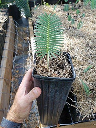 1 Dioon edule Seedling Chestnut Dioon Palm Cycad Cycas encephalartos