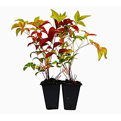 9GreenBox - Nandina Domestica Fire Power (Heavenly Bamboo) - 2 Pack : Garden & Outdoor