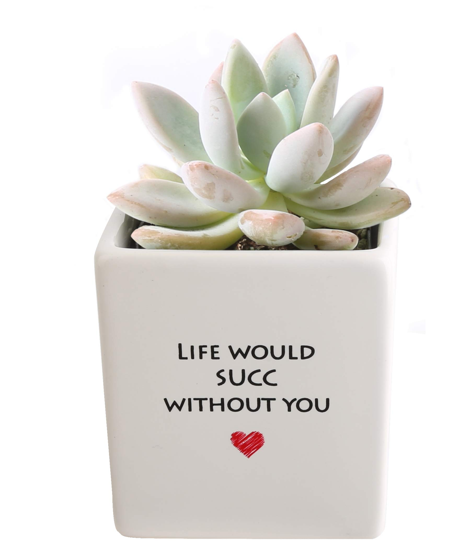 Costa Farms Live Mini Succulent Echeveria Indoor Plant Grower's Choice, Rosette, 4-Inches Tall, Life Ceramic by Costa Farms (Image #1)