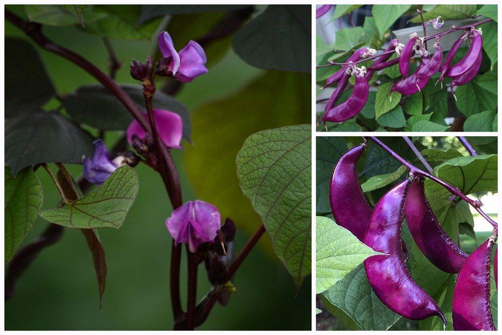 Dolichos. Annual Flower seeds Lablab purpureus Hyacinth Bean Climbing