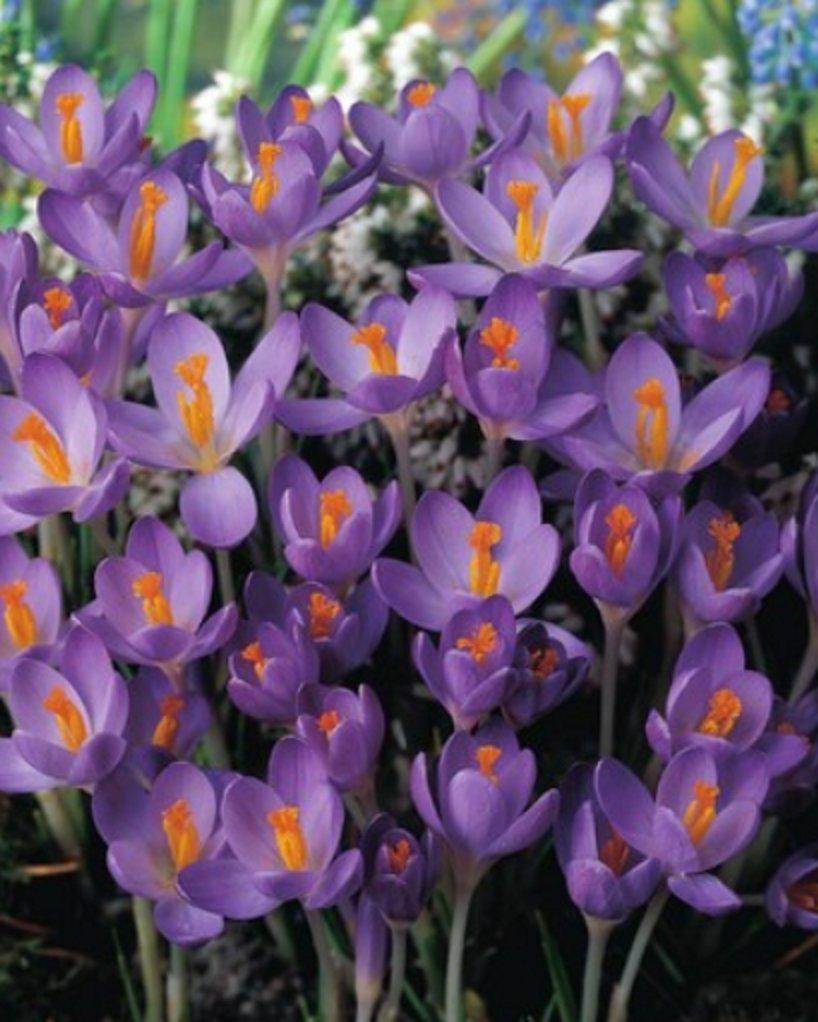 100 Botanische Krokusse Barr's Purple Blumenzwiebeln Crocus Blumenhandel Ullrich