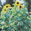 Burpee American Giants Hybrid Sunflower Seeds 50 seeds