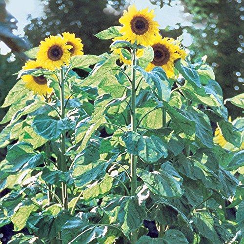 (Burpee American Giants Hybrid Sunflower Seeds 50 seeds )
