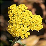 Package of 500 Seeds, Gold Yarrow (Achillea filipendulina) Open Pollinated Seeds by Seed Needs