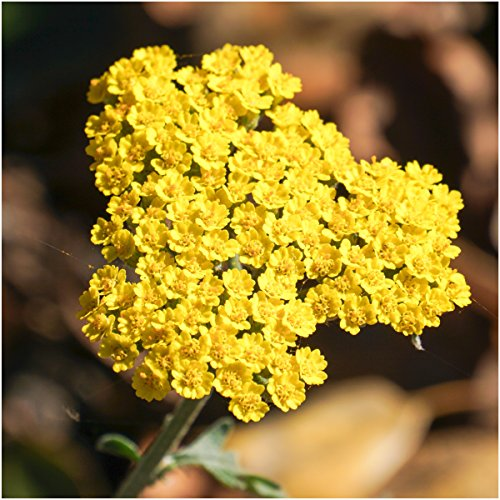 Package of 500 Seeds, Gold Yarrow (Achillea filipendulina) Open Pollinated Seeds by Seed - Gold Yarrow