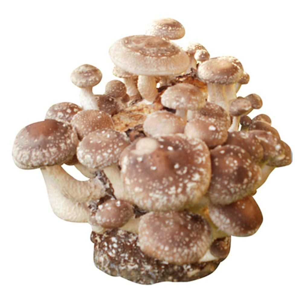 Shiitake-Körnerbrut Pilzbrut, Pilze selber züchten, Pilzzucht Pilze selber züchten Pilzmaennchen