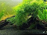 Aquatic Arts Java Moss - Live Aquarium Plant Large 25 Square inch Portion
