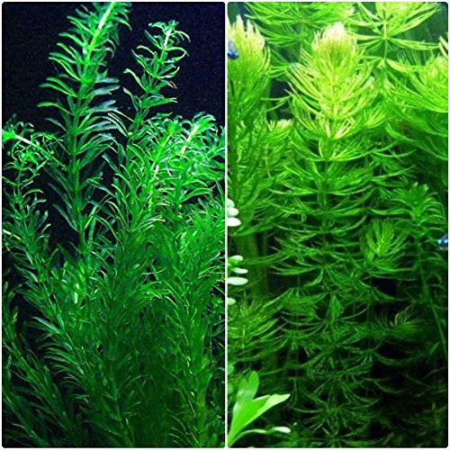 (Anacharis and Hornwort Bundle for Ponds and Aquariums)
