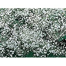 Baby's Breath 100+ Seeds Organic Newly Harvested, Beautiful Snow Like Blooms