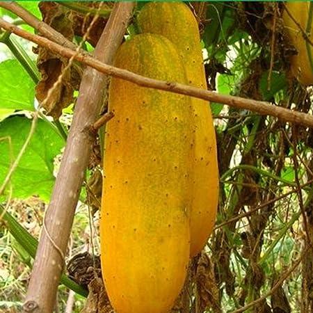 100 pcs green cucumber seeds cucumber organic fruit vegetable hign budding rare