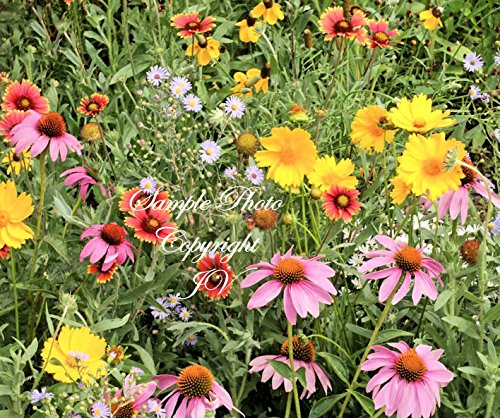 Dwarf Hat Choice Of Colors (Serendipity's Southern Garden Wildflower seeds Mix Lots of Color! Butterflies Love Drought Tolerant Cut Flowers Easy to Grow! App 2500 Seed Pack)