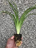 Qty 30 Daylily 'Aztec Gold' Live Plants Hemerocallis