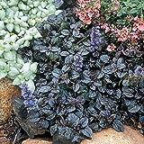 """Mahogany Ajuga - Carpet Bugle - 4 Plants - 1 3/4"""" Pots - Proven Winner"""