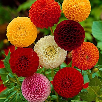 Dahlia Seeds Pom Pom Mix Dahlia Seeds 50 Flower Seeds : Garden & Outdoor