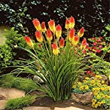 Red Hot Poker Perennial Flower Kniphofia uvaria Torch Lily Seeds 50 pcs