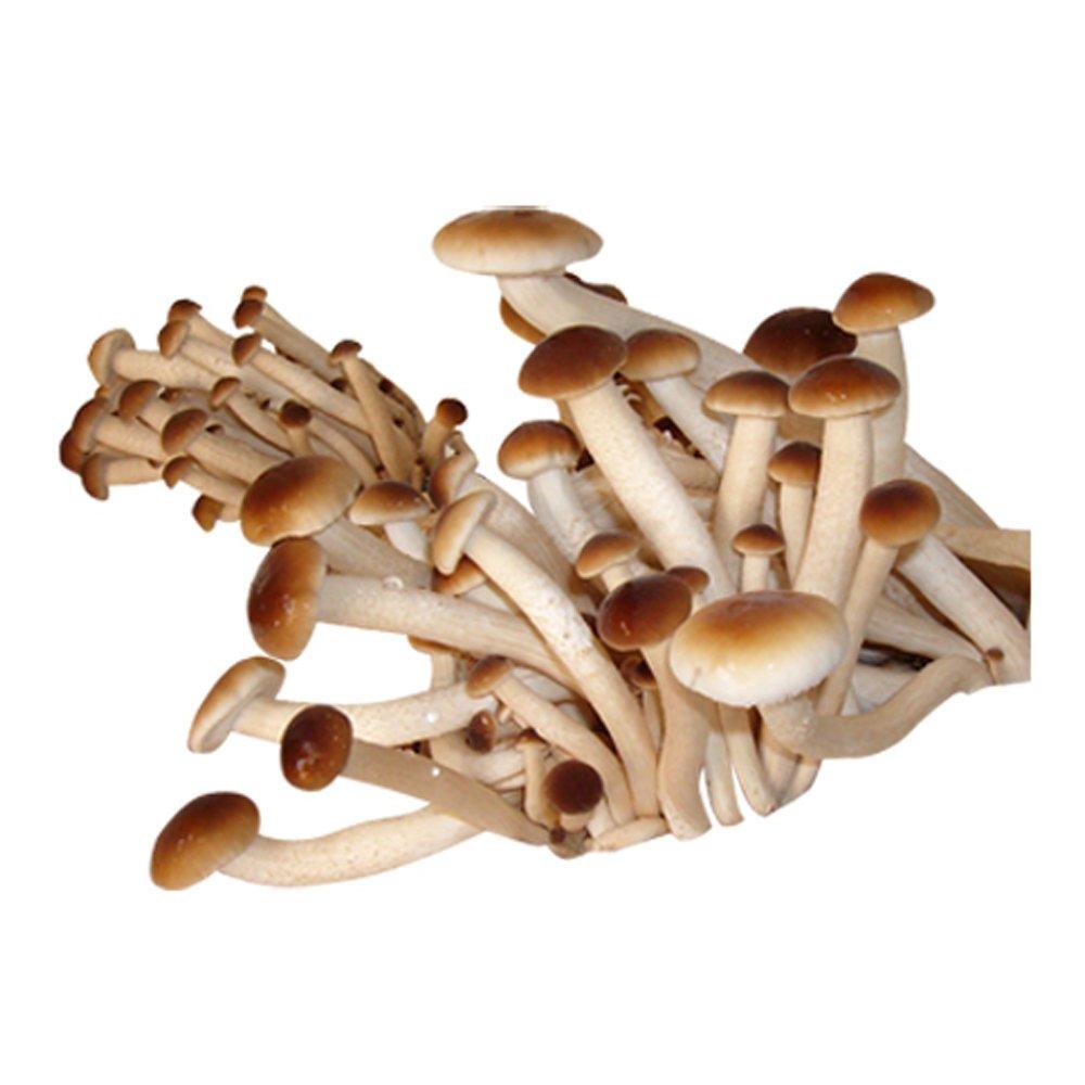 XXL Pioppino-Körnerbrut Pilzbrut, Pilze selber züchten, Pilzzucht