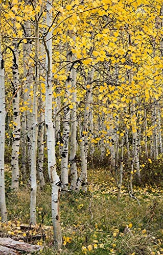 Tree Mountain Rocky - Rocky Mountain Aspen Tree saplings10