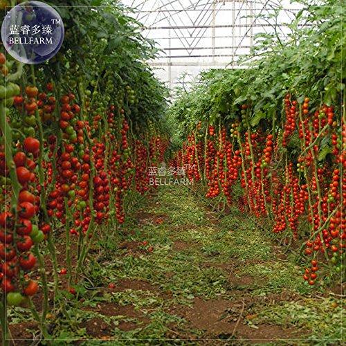 pinkdoseâ ® 2018vente chaude ochoos tomate tsifomandra géant Graines de légumes, 100, emballage professionnel, Truss douce organique ouvert impollinato