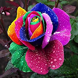 200Pcs Rare Blue Black Red Blooming Midnight Rose Flower Plant Petal Garden Flower Seed (colored)