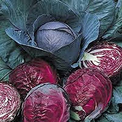 Cabbage, Red Acre seeds, Organic, NON-GMO, 50+ seeds per package,This hardy, healthy and delicious crop is easy to grow and ideal for small and large gardens