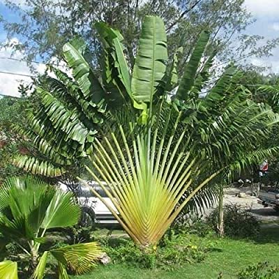 Travelers Palm Seeds (Ravenala madagascariensis) 10+Seeds : Garden & Outdoor