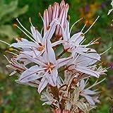 Plant World Seeds - asphodelus ramosus Seeds