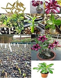 5x Adenium Obesum Rosa del desierto Plantas Habitación Semillas Fresco Planta Árbol Flores Bonsai Oscuro Rojo