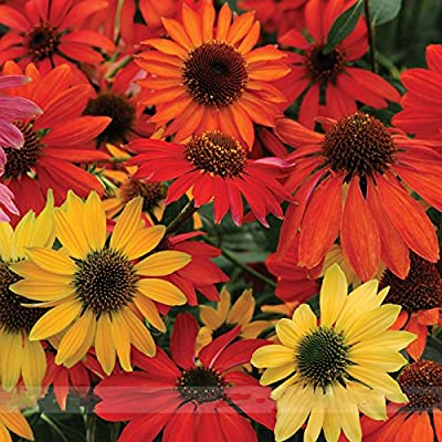 ADB Inc 50 Seeds Hardy Perennial Echinacea 'Cheyenne Spirit Mixed' Coneflower Seeds