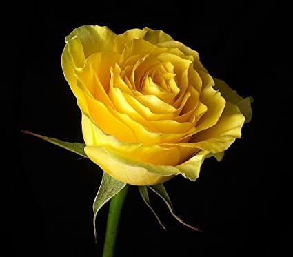 national gardens yellow rose flower seeds pack of 10 amazon in
