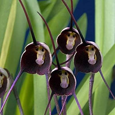AzsfUfsa53 Package of 10Pcs Non-GMO Rare Monkey Face Orchid Seeds, Ornamental Flower Plant Seeds for Garden, Home, Office Decor & Air Purification Purple Monkey Face Orchid Flower : Garden & Outdoor