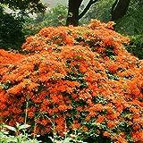 IDEA HIGH 5: Azalea mollis Orange - 5 shrubs