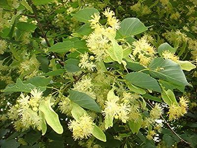 Tree seeds Linden 200 seeds