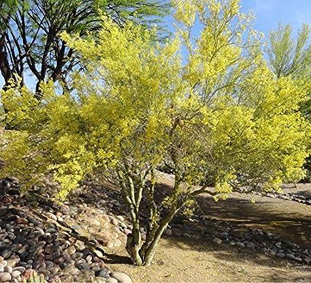 10 Seeds Blue Palo Verde Tree Parkinsonia florida Green Trunk Bark Yellow Flower