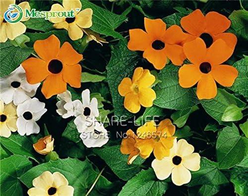 10pcs / lot Thunbergia alata semillas, semillas de plantas Negro-Eyed Susan Bonsai en maceta jardín de DIY: Amazon.es: Jardín