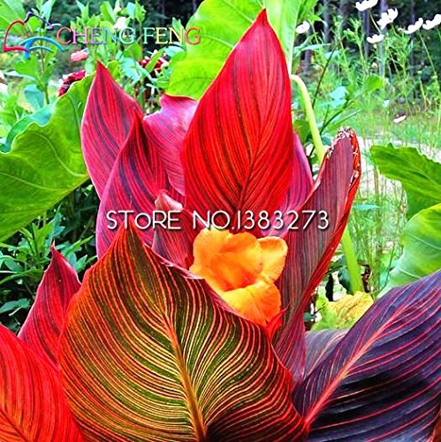 Seeds Shopp 10 Pcs Canna Seeds Beautiful Flower Seed Mix Indica Lily Plants Garden Bulbs Flowers Outdoor Potted Bonsai Flores (Canna Lily Flowers)