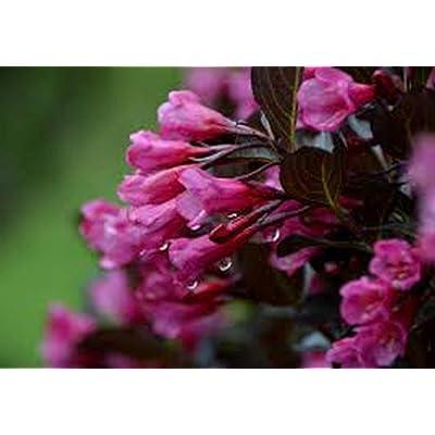 AchmadAnam - Live Plant - Weigela Wine & Roses, Florida, Weigela, (3) 2+ yr Qrt, : Garden & Outdoor