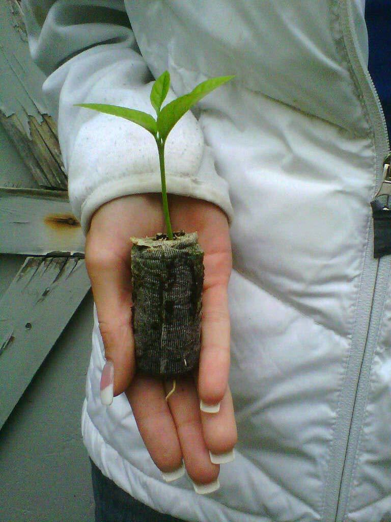 Lemon Tree seedlings - Eureka''Four Seasons'' (Quatre Saisons) - Starter Plugs #tgn033
