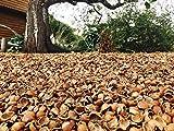 Hazelnut Shell Mulch - Premium Grade- Shells Yeah! (1 Box)