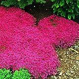 Rockcress Cascading Red Flower Seeds (Aubrieta Hybrida) (100)