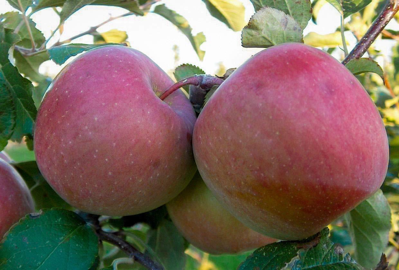 1 Fuji Apple Tree-Malus 'Fuji'-2 to 3 ft