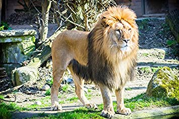 amazon com laminated poster male lion africa zoo big cat cat poster
