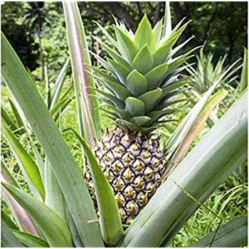 pineapple plant 39 kona sugarloaf 39 live. Black Bedroom Furniture Sets. Home Design Ideas