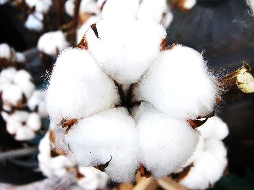 El árbol del algodón Gossypium BLANCO raro arbusto de floración de semillas madera exótica planta -10 semillas: Amazon.es: Jardín