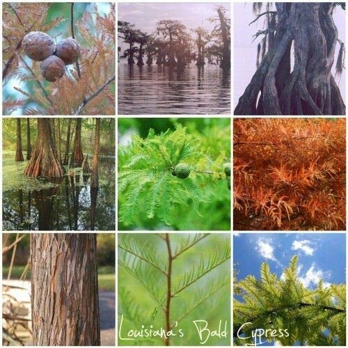 Bald Cypress, Taxodium distichum, Northern, Tree Seeds (60 Seeds) by Parahita Store