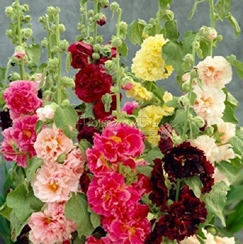 Hollyhock Plan t(3 Roots) Great cut flower, Attracts butterflies,And hummingbird