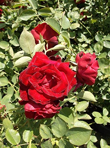 Red Fountain Red Rose 2 Gal Live Bush Plants Climber Plant Fine Roses by tans_treasures