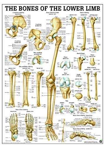 Amazon.com: Bones Of Lower Limb Anatomy Chart - Laminated ...